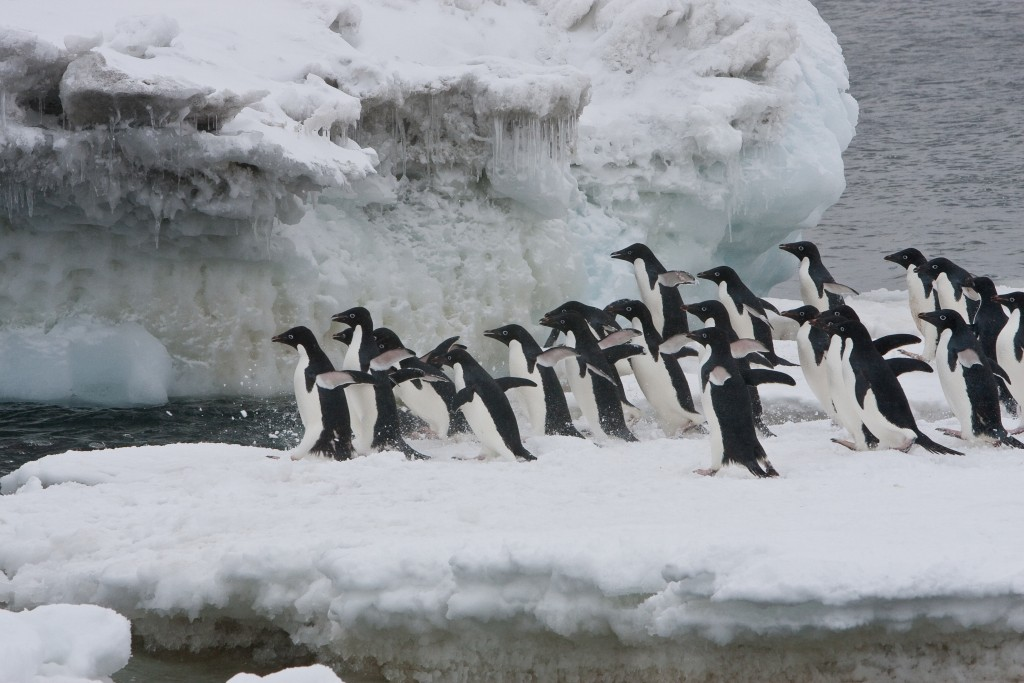 Adelie Penguins. * Photo: Jan Veen-Oceanwide Expeditions