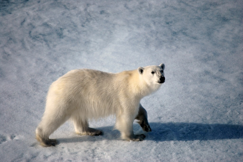 Spitsbergen (Svalbard) - Curious polar bear comes up to the bow of the ship. * Photo: Ted Scull