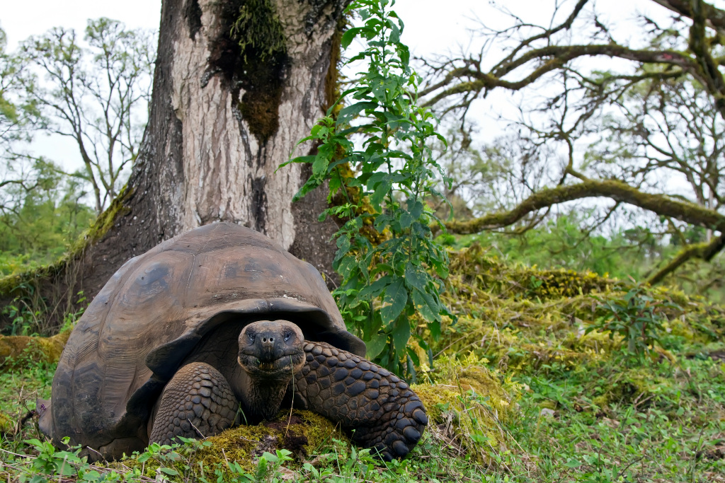 Wild Galapagos giant tortoise munching grass on Santa Cruz Island, on a Lindblad Expeditions trip. * Photo: Michael S. Nolan
