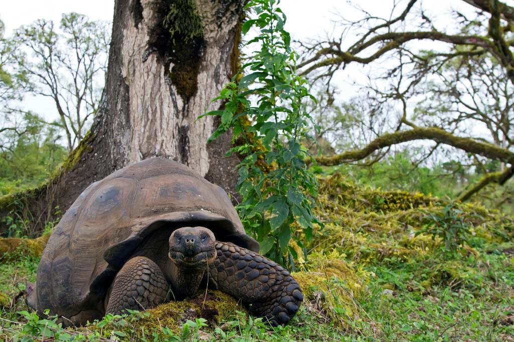 Wild Galapagos giant tortoise munching grass on Santa Cruz Island, on a Lindblad Expeditions trip. * Photo: Michael S. Nolan