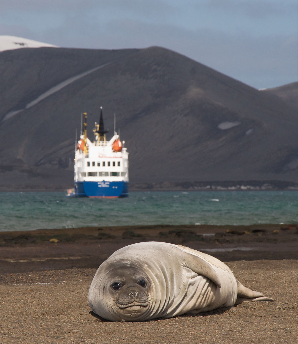 Elephant Seal ignores Ocean Nova, in Antarctica. * Photo: Quark Expeditions