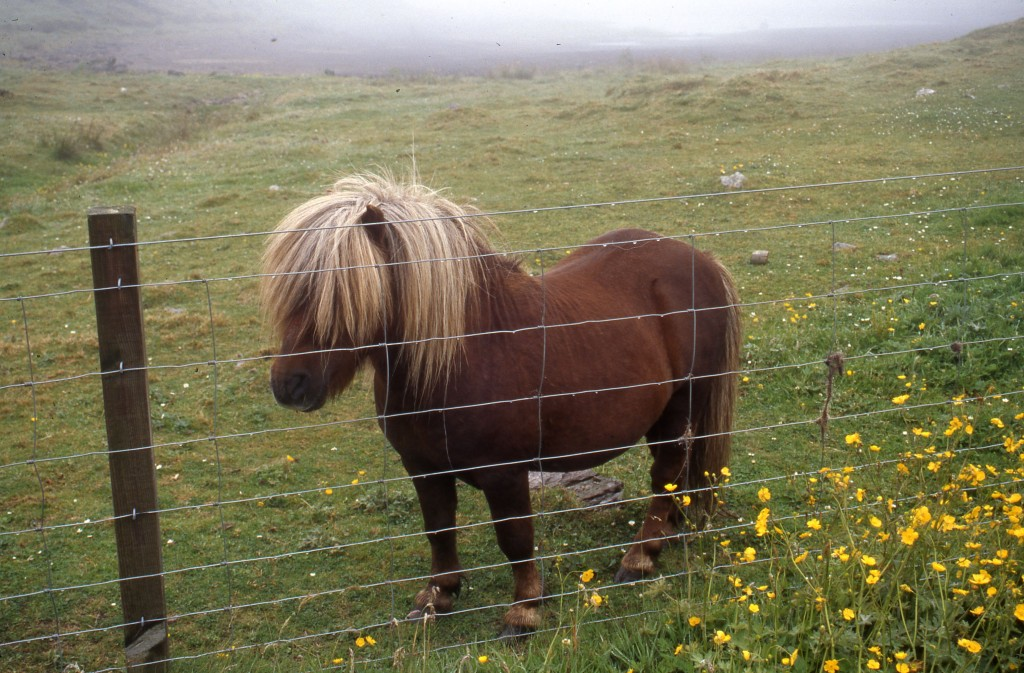Shetland pony on the Shetland Islands. * Photo: Ted Scull
