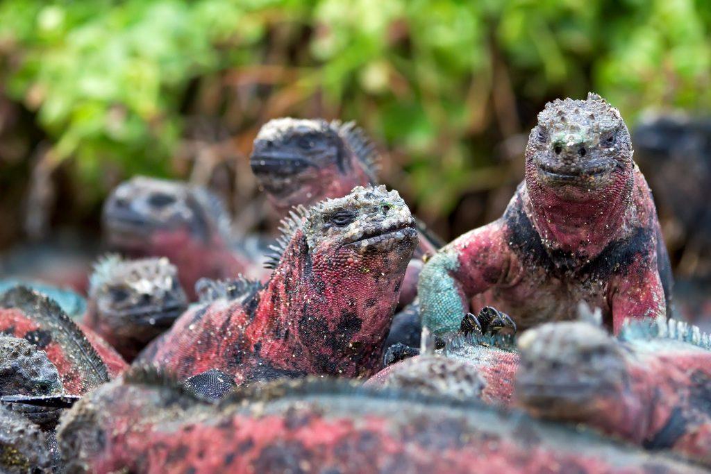 The endemic Galapagos marine iguana