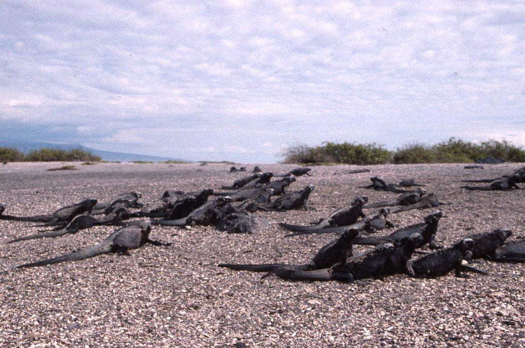 Marine Iguanas, Galapagos, Ecuador. * Photo: Suellyn Scull