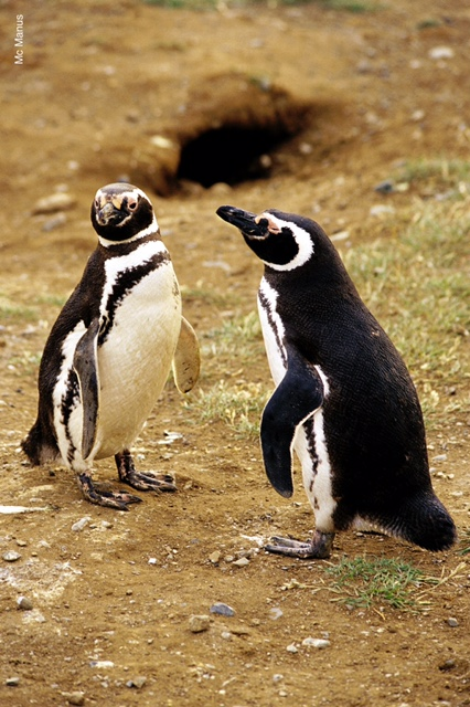 Seeing adorable Magellanic Penguins is a cruise highlight. * Photo: Australis