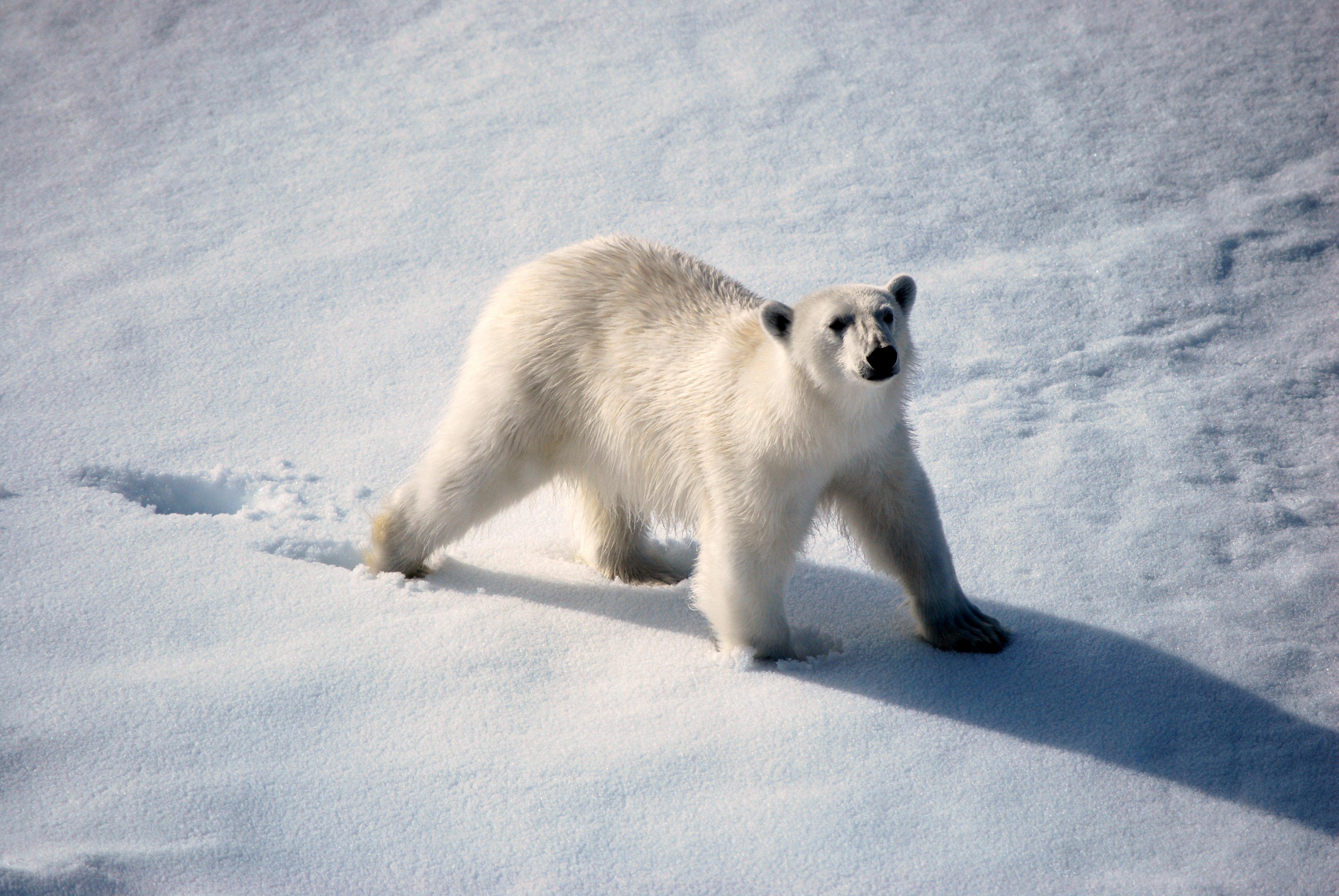White on white, seeing a polar bear from the ship in the Arctic. * Photo: Ted Scull