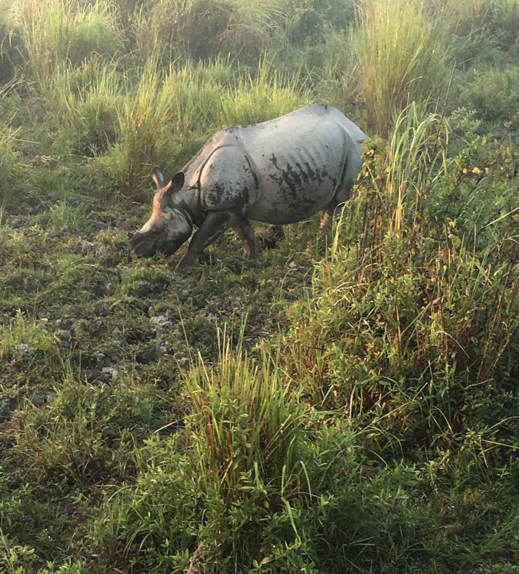 Kaziranga's one-horned rhino. * Photo: Heidi Sarna