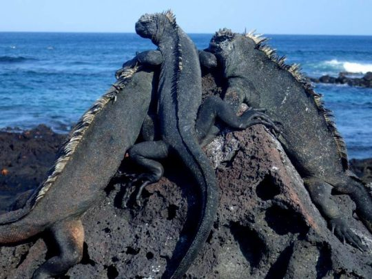 Celebrity Flora in the Galapagos affords views of marine iguanas