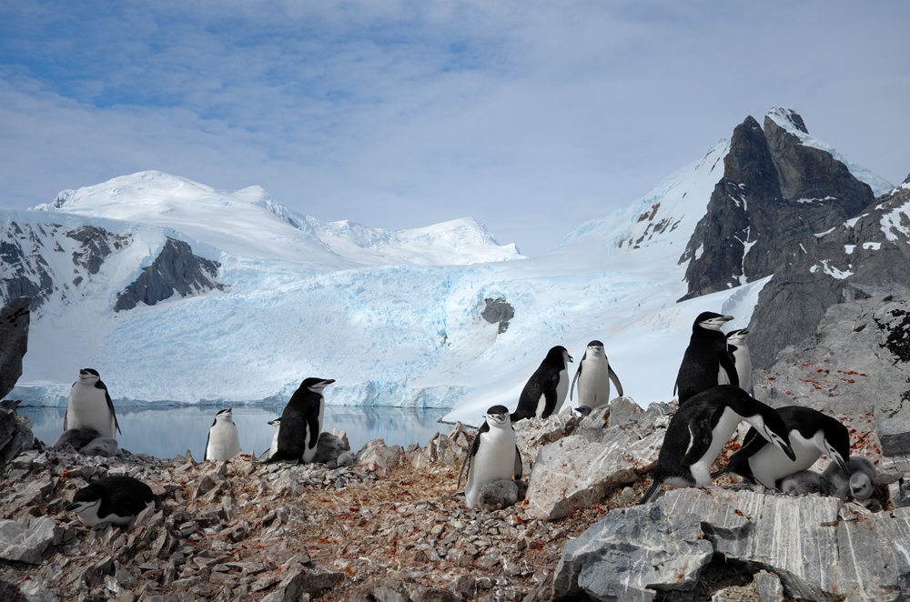 Chinstrap penguins nesting at Orne Harbour, Antarctic Peninsula. * Photo: Richard White