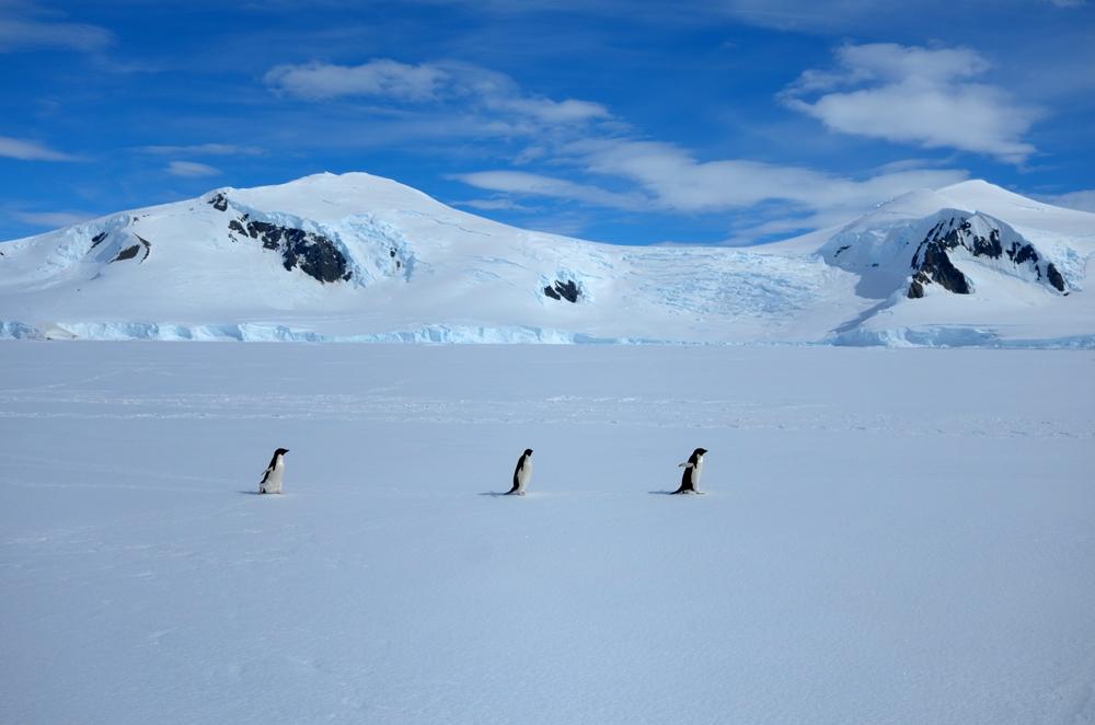 Adelie penguins on shore-fast ice. * Photo: Richard White