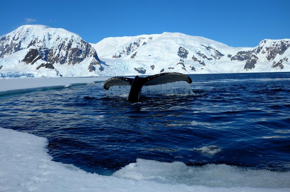 Humpback whale diving along the ice edge. * Photo: Richard White