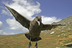Skua on the attack