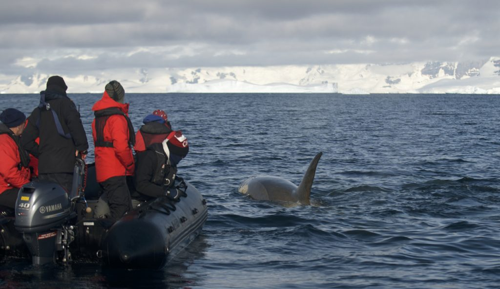 Killer whale surfaces next to zodiac driven by Richard. * Photo: Sean Todd