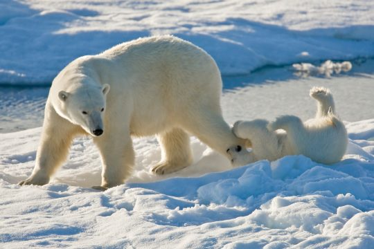 Svalbard Playtime for mother and cub polar bear. * Photo: Lindblad Expeditions