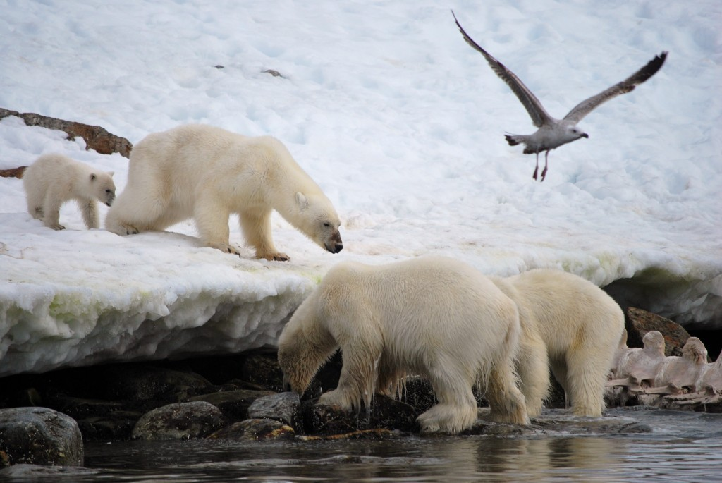 Svalbard: Polar bears feeding on a whale carcass. * Photo: Ted Scull