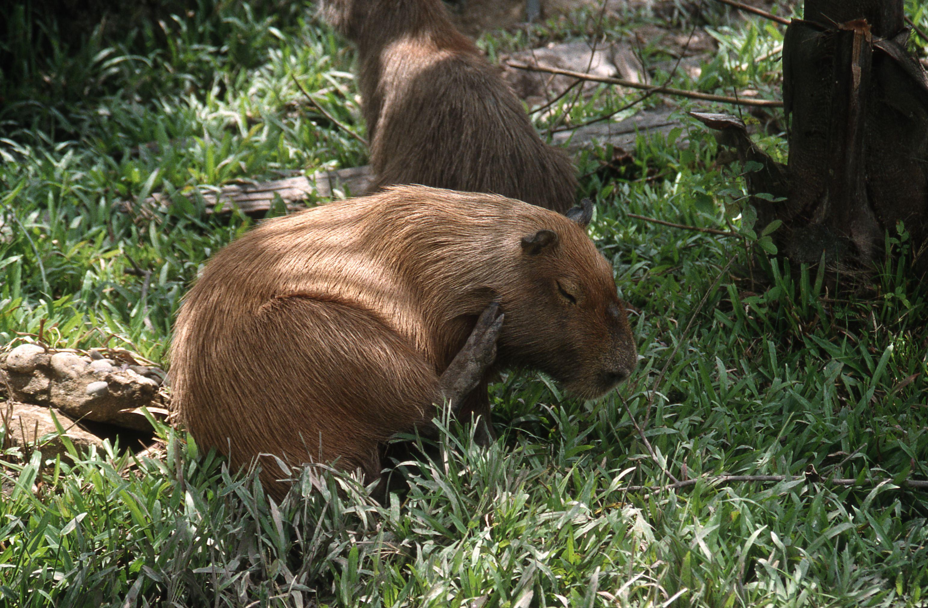 Capybara, Peru's largest rodent. Amazon