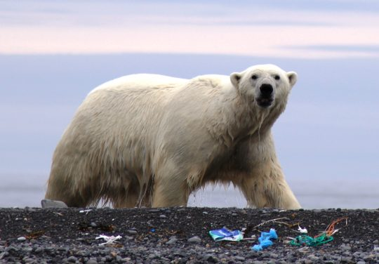 quirky-cruise-marine-plastic-pollution-polar-bear-on-littered-beach