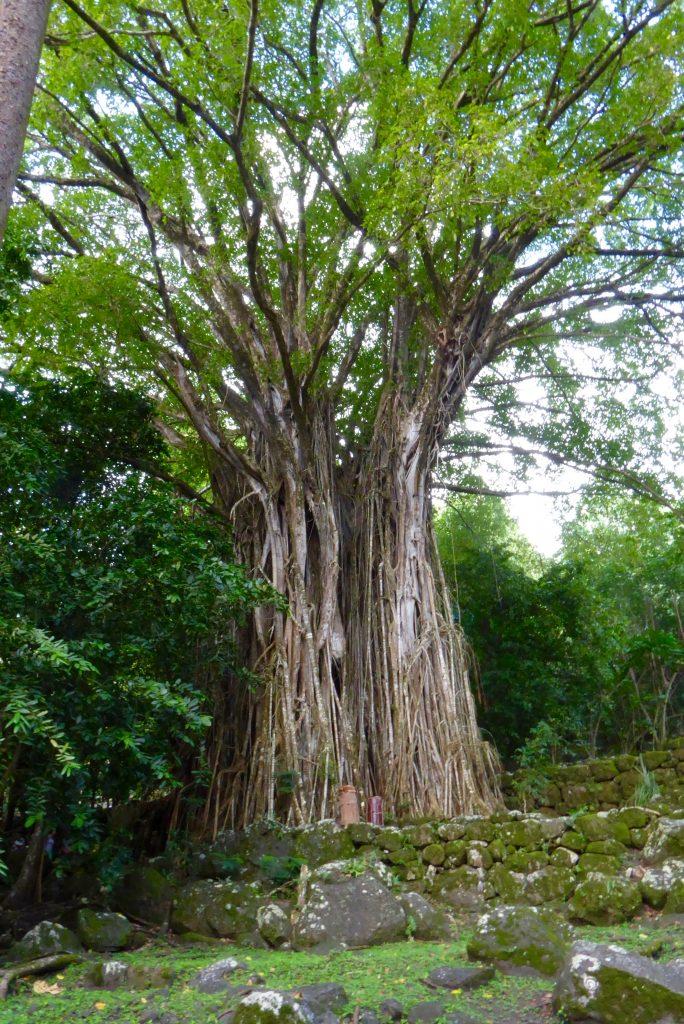 Aranui Cruises ports feature banyan trees