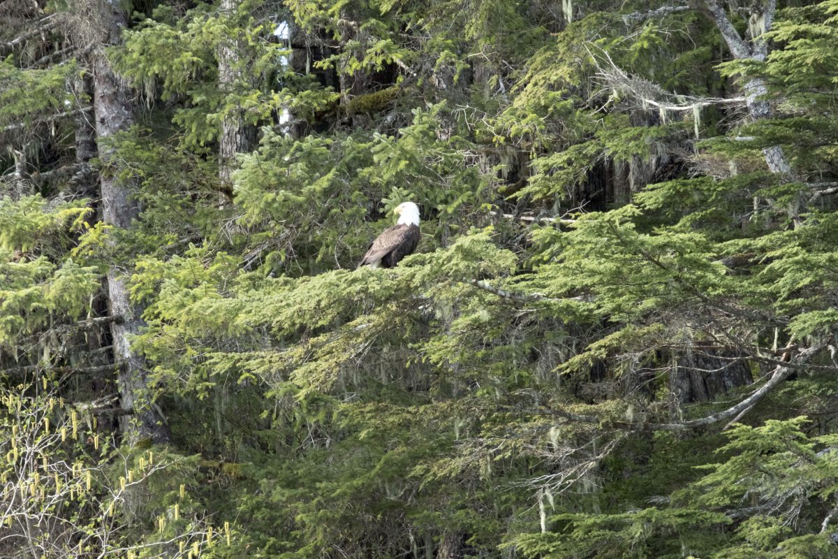 Alaska Cruise Bald Eagle Sighting