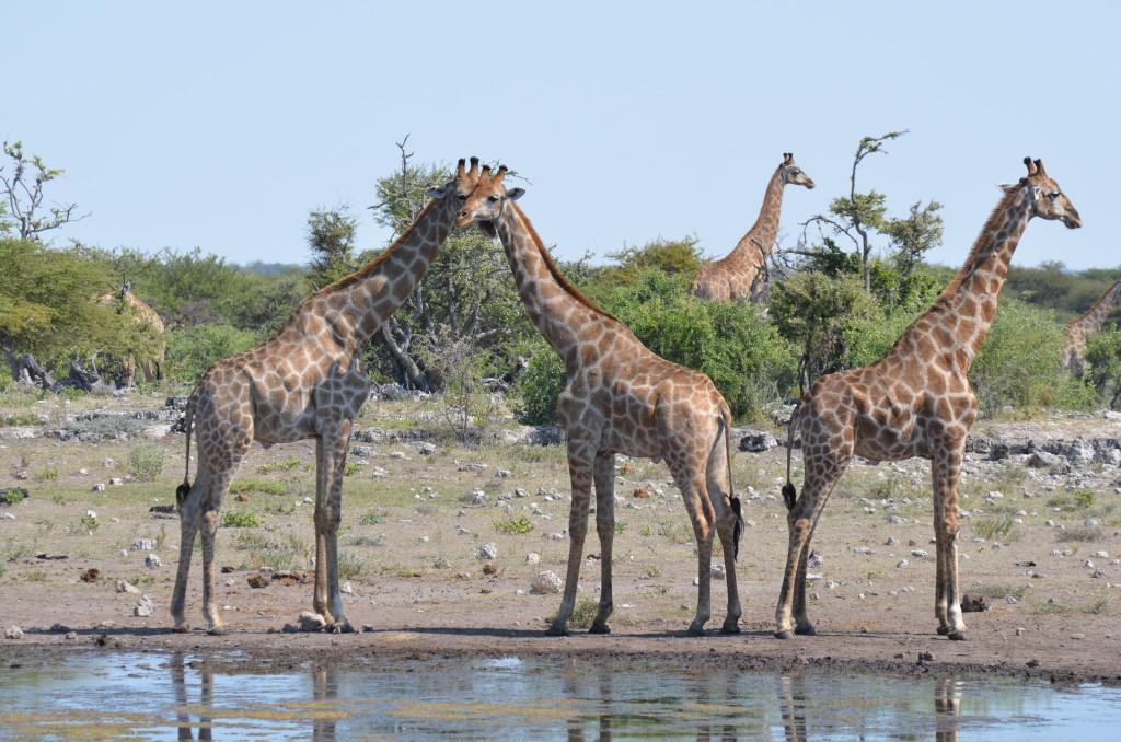 Giraffes in Nambia