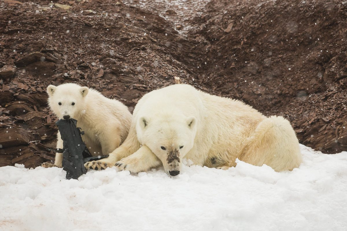 Polar bears munch on plastic waste.