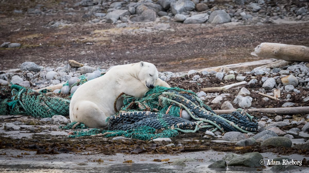 Here, a polar bear with waste in Svalbard.