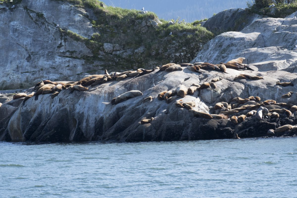 Alaska cruise wildlife includes Sea Lions