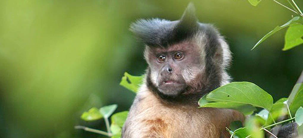 Spot a capuchin on an Amazon Nature Tours