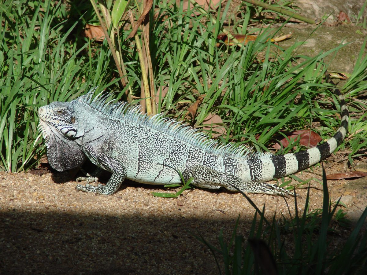 Iguana on an Amazon expedition cruise