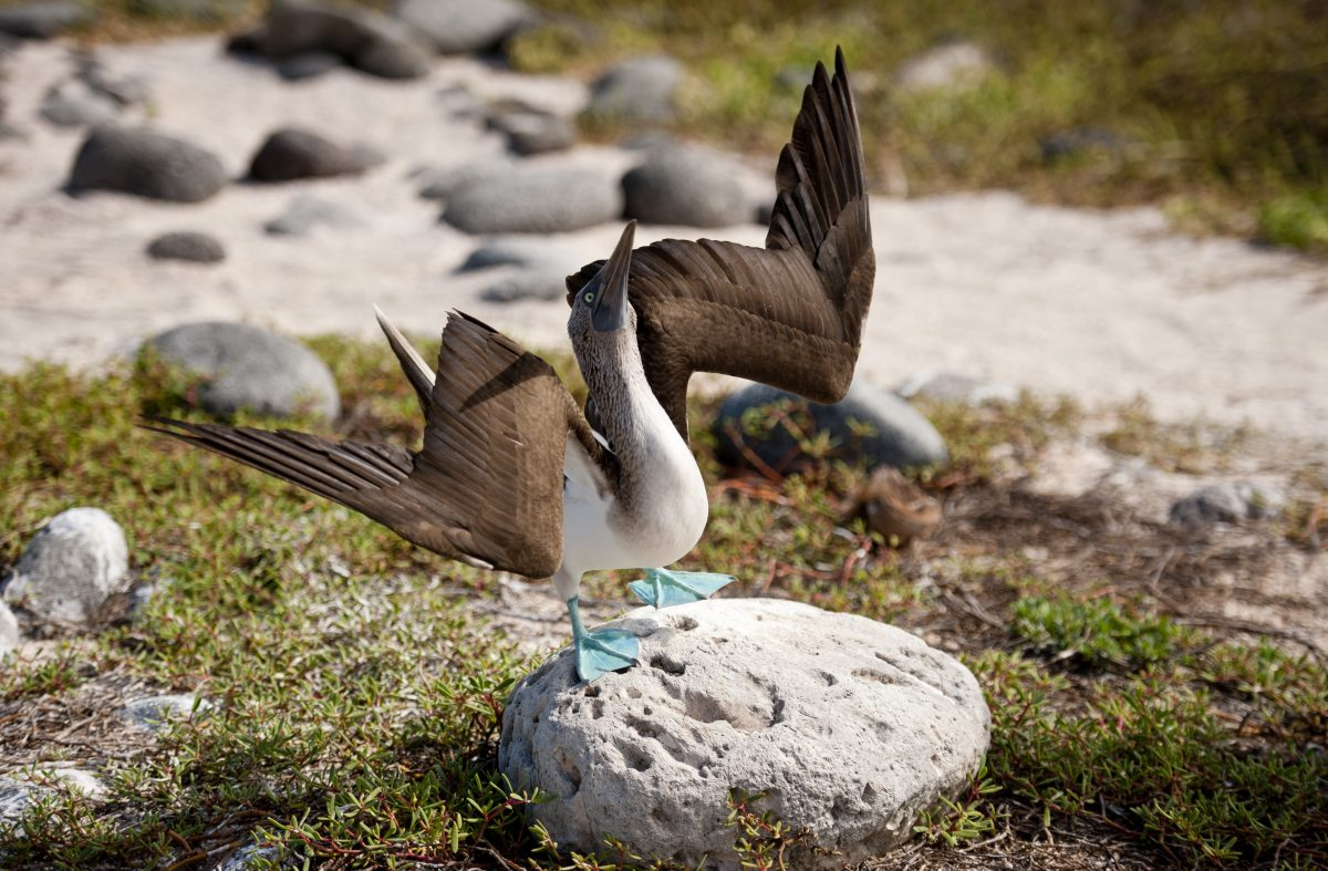 Blue-Footed Booby birds in the galapagos