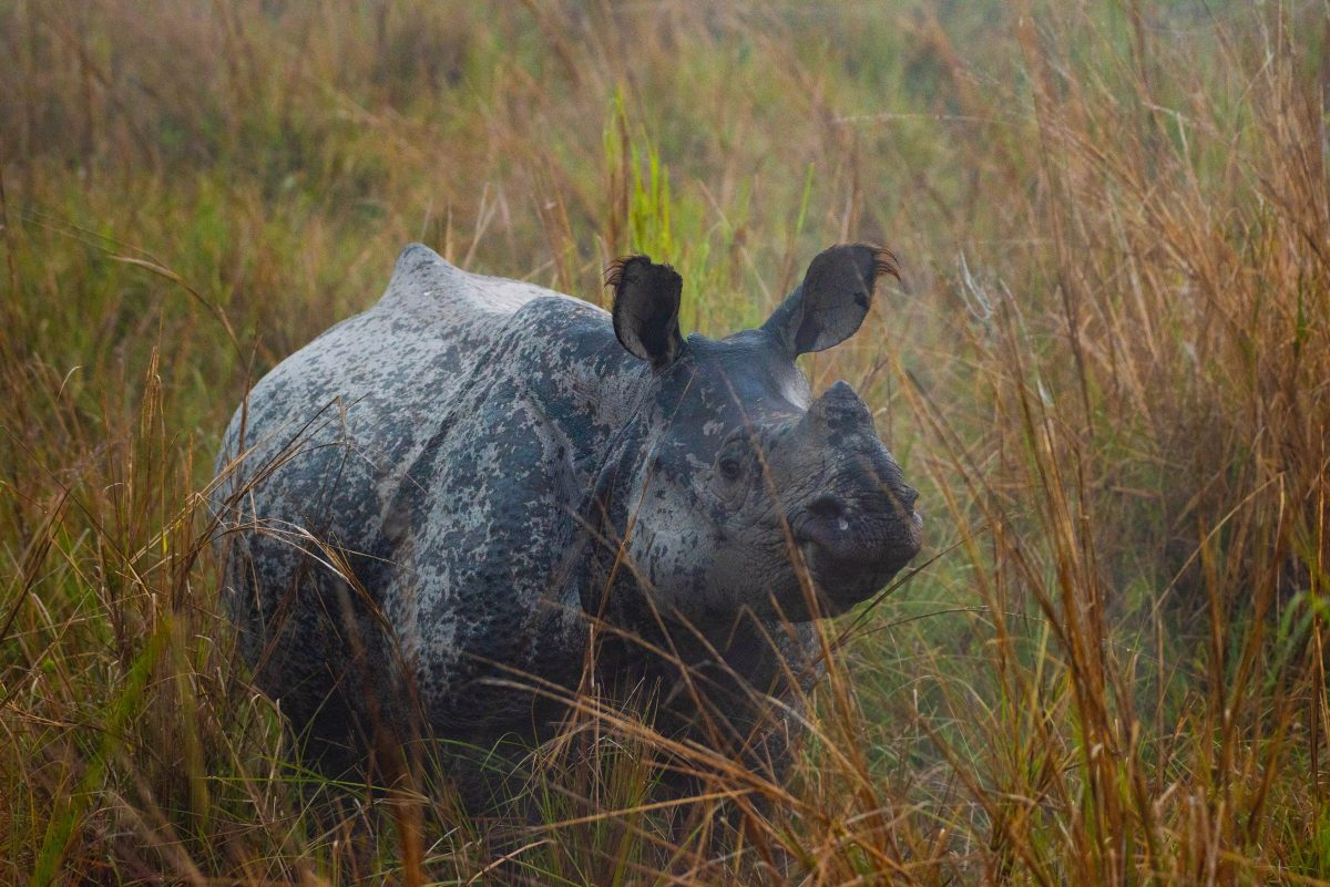 one-horned white rhino in Kazi