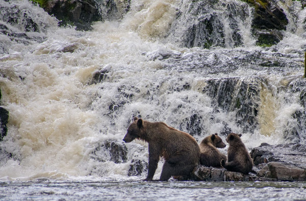 Bears on an Alaska cruise