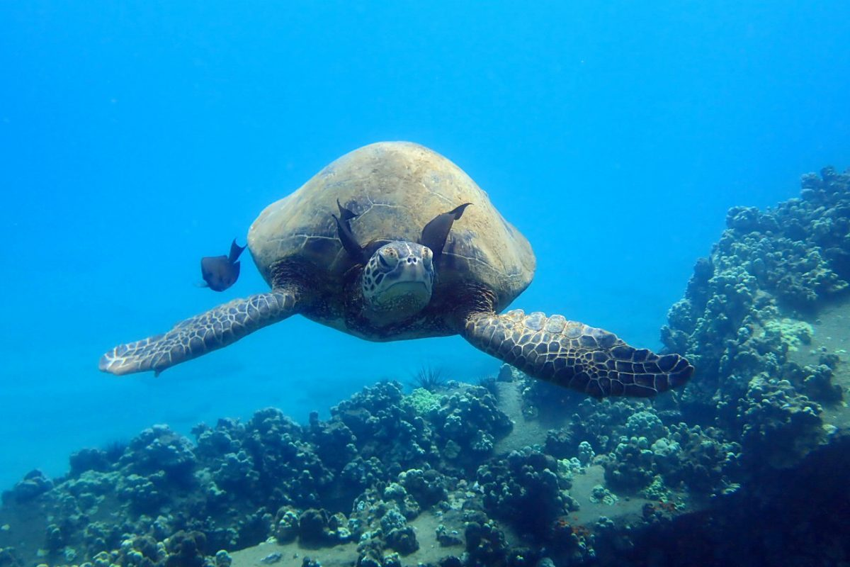 green sea turtle on a Hawaii cruise