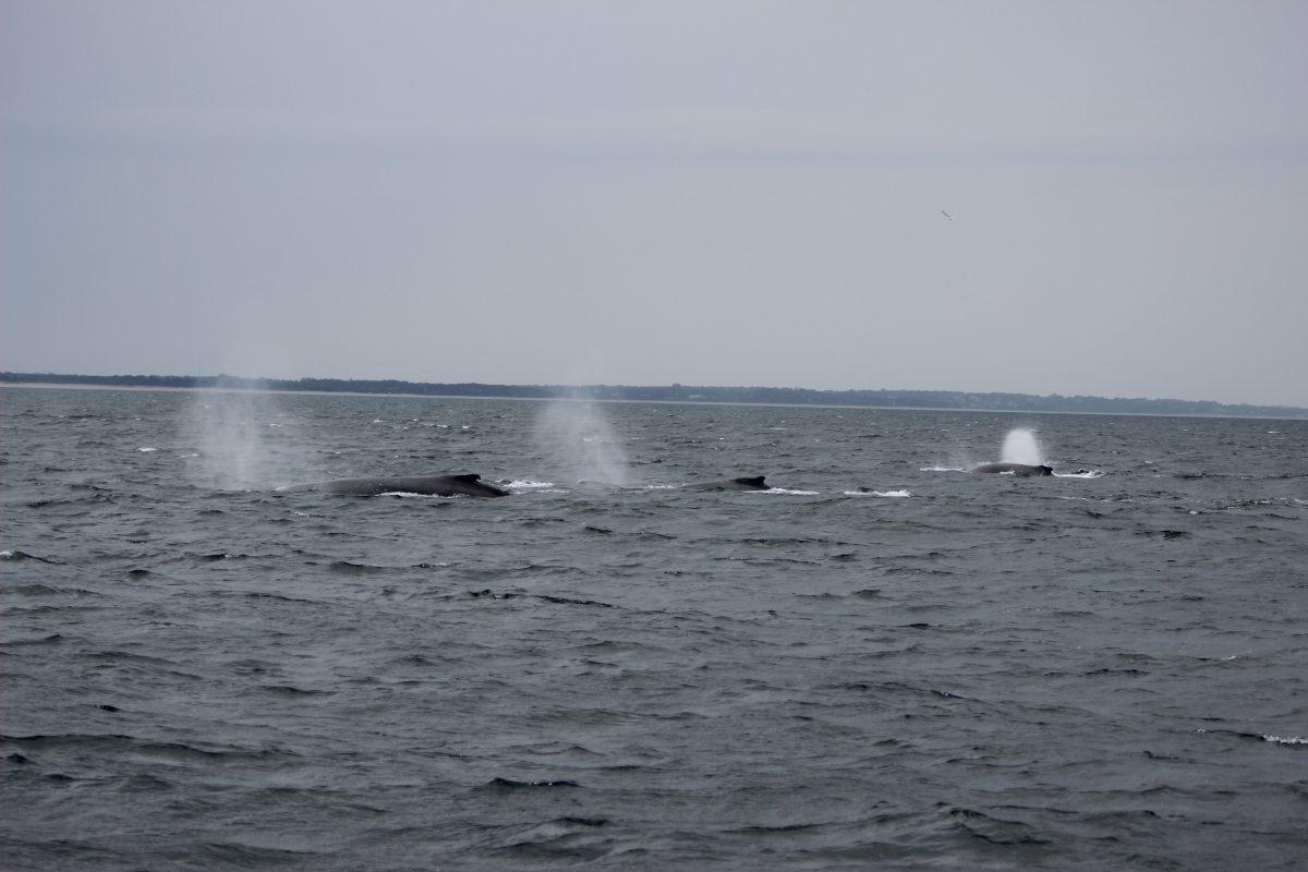 Spouting Humpbacks whales