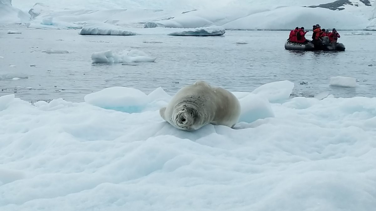 crabeater seal in the Antarctic
