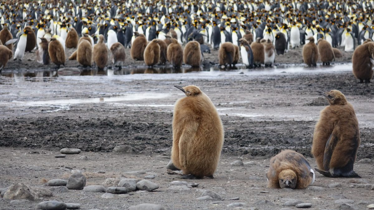 King Penguins in Antarcica