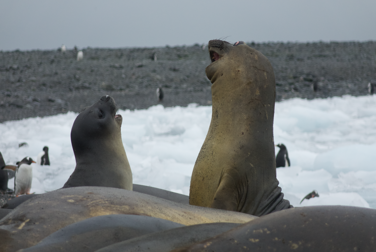 elephant seals in Antarctica
