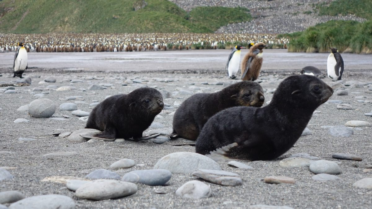 Trio of seal pubs in Antarctica