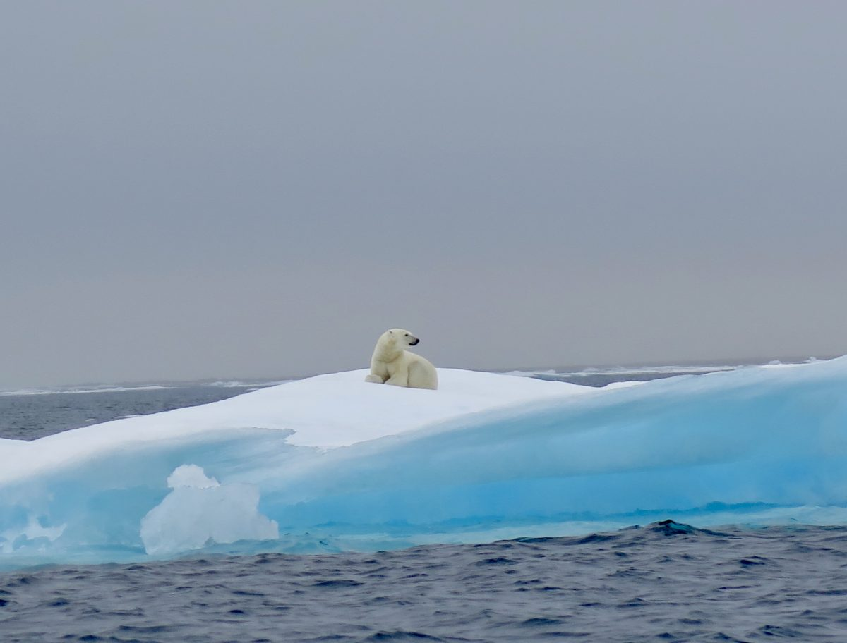 polar bears in the High Arctic