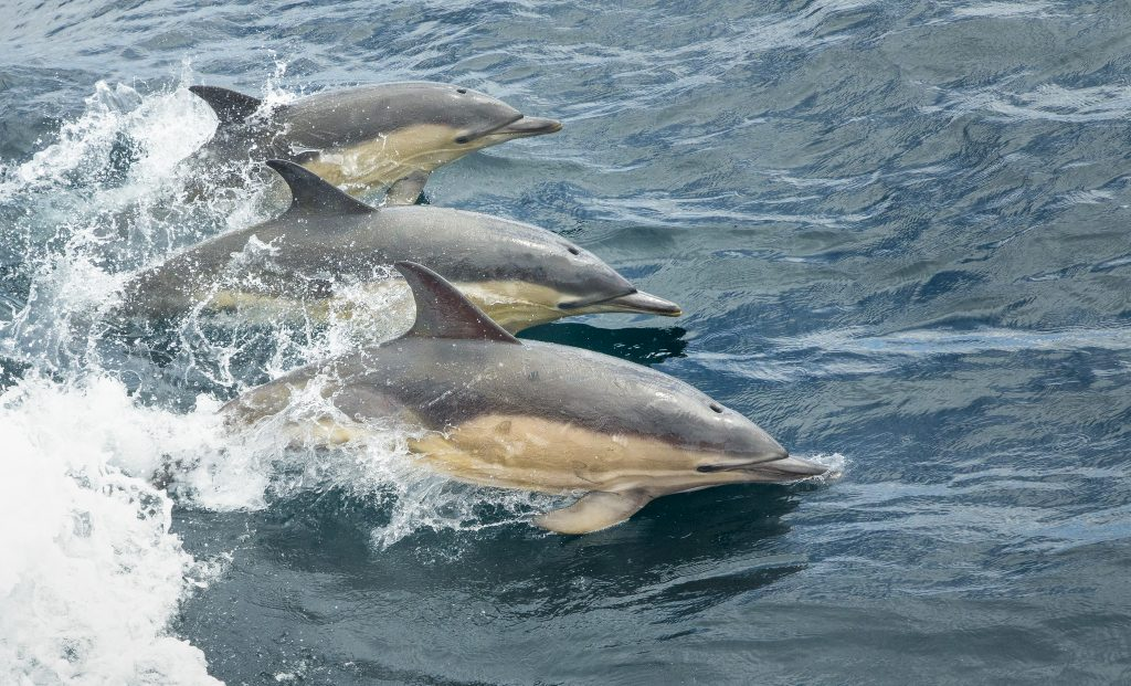 common dolphins in the hebrides