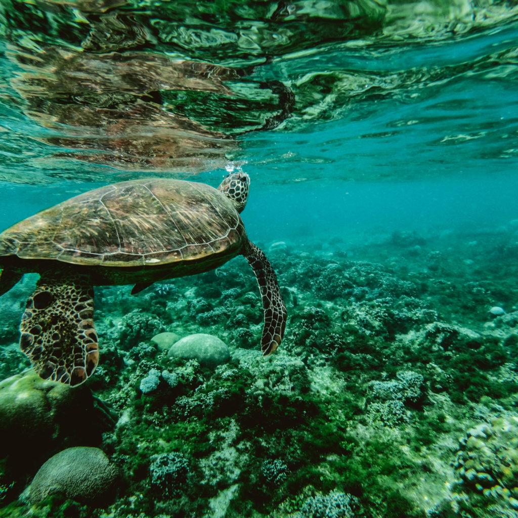 Christmas Island turtle