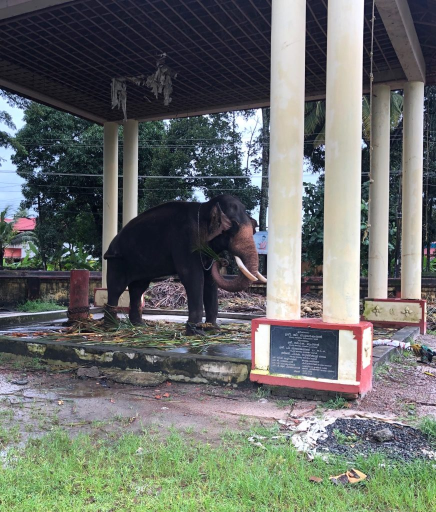 temple elephant in Kerala India
